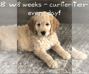 Goldendoodle Puppy for Sale in HARRISVILLE, Utah USA