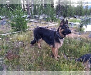 Father of the German Shepherd Dog puppies born on 09/15/2020