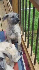 Irish Wolfhound Puppy For Sale in BURNS TOWNSHIP, MN, USA