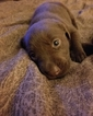 Labrador Retriever Puppy For Sale in EAST WAREHAM, MA, USA