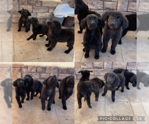 Golden Retriever Puppy for sale in VICTORVILLE, CA, USA