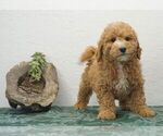 Puppy 0 Bernedoodle-Poodle (Toy) Mix
