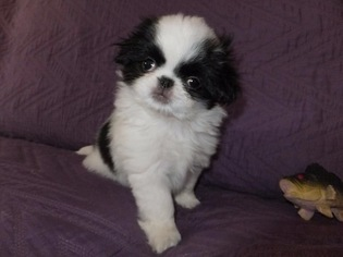 Japanese Chin Puppy For Sale in LAKE STEVENS, WA