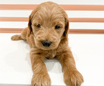 Puppy 9 Goldendoodle