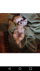 Maltipoo Puppy for sale in ADVANCE, NC, USA
