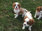 Cavalier King Charles Spaniel Puppy For Sale in BERLIN CENTER, Ohio,