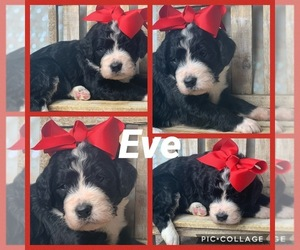 Bernedoodle Puppy for sale in FREDERICKTOWN, MO, USA