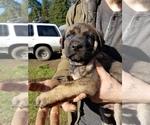 Small German Shepherd Dog-Mastiff Mix