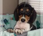 Puppy 1 Dachshund