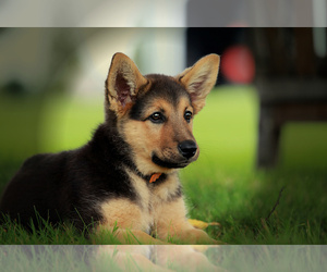 German Shepherd Dog Puppy for sale in LISBON, OH, USA