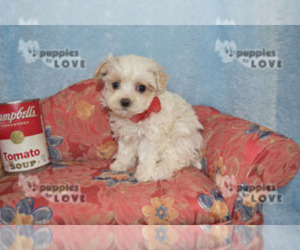 Maltipoo Puppy for sale in SANGER, TX, USA