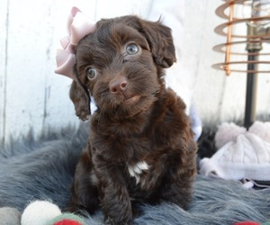 Schnoodle (Miniature) Puppy for sale in HONEY BROOK, PA, USA