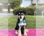 Puppy 3 Goberian