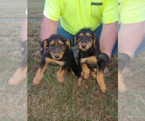 Airedale Terrier Puppy for sale in BLAINE, TN, USA