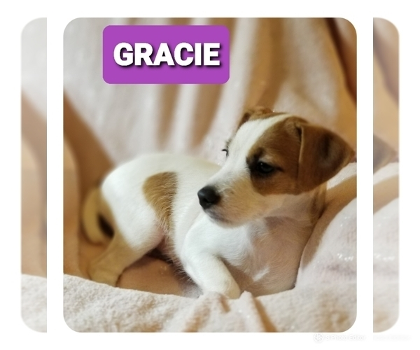 Medium Photo #5 Jack Russell Terrier Puppy For Sale in MANSFIELD, TX, USA