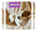 Small Photo #5 Jack Russell Terrier Puppy For Sale in MANSFIELD, TX, USA