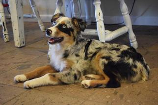 Australian Shepherd Puppy For Sale in PAULDEN, AZ, USA