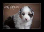 Australian Shepherd Puppy For Sale in TAYLOR, TX