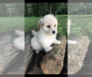 Poochon Puppy for sale in PRINCETON, KY, USA