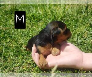 Yorkshire Terrier Puppy for sale in MANES, MO, USA