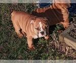 Puppy 2 Victorian Bulldogge
