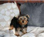 Puppy 12 Yorkshire Terrier