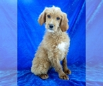 Image preview for Ad Listing. Nickname: Goldendoodle fe