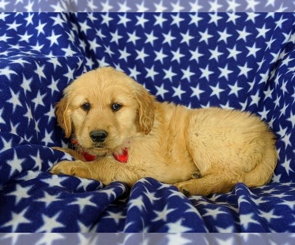 Medium Photo #4 Golden Retriever Puppy For Sale in OXFORD, PA, USA