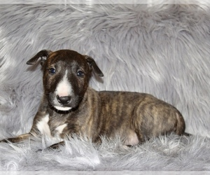 Bull Terrier Puppy for sale in BUCKLIN, KS, USA