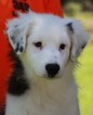 Australian Shepherd Puppy For Sale in HAMMOND, Louisiana,