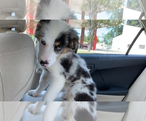 Australian Shepherd Puppy for sale in ST HEIGHTS, MI, USA