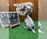 Small #2 German Wirehaired Pointer