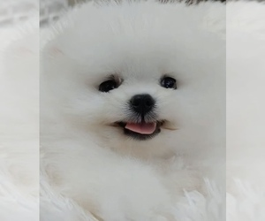 Pomeranian Puppy for sale in CHINO HILLS, CA, USA