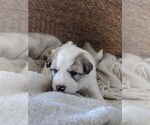 Small #56 Great Pyrenees