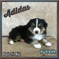 Miniature Australian Shepherd Puppy for sale in FORESTBURG, TX, USA