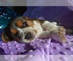 Small #12 Beagle