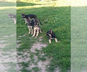 German Shepherd Dog Puppy for Sale in MOODY, Missouri USA