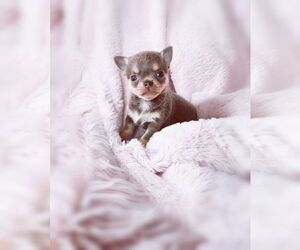 Chihuahua Puppy for sale in BOW MAR, CO, USA