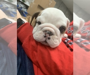 English Bulldogge Puppy for sale in BARBOURVILLE, KY, USA