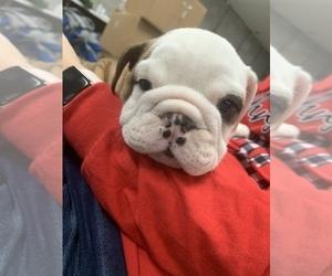 View Ad English Bulldogge Litter Of Puppies For Sale Near Virginia Henrico Usa Adn 20731