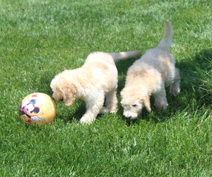Goldendoodle Puppy for Sale in WILEY, Colorado USA