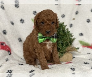 Goldendoodle-Poodle (Miniature) Mix Dog for Adoption in CEDAR LANE, Pennsylvania USA