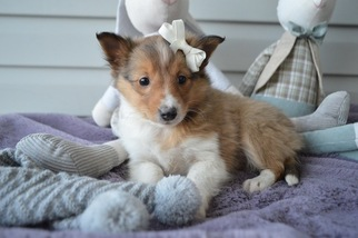 Shetland Sheepdog Puppy for sale in HONEY BROOK, PA, USA