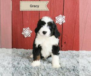 Bernese Mountain Dog Dog for Adoption in KALAMAZOO, Michigan USA