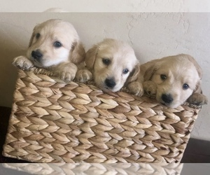 Golden Retriever Puppy for Sale in NIXA, Missouri USA