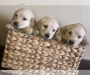Golden Retriever Puppy for sale in NIXA, MO, USA
