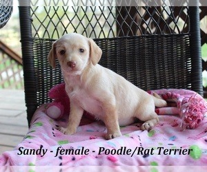 Poodle (Toy)-Rat Terrier Mix Puppy for sale in CLARKRANGE, TN, USA