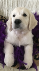 Golden Retriever Puppy For Sale in LAS VEGAS, NV, USA