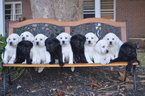 Labrador Retriever Puppy For Sale in GAFFNEY, SC,