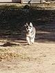 Siberian Husky Puppy For Sale in WICHITA, Kansas,